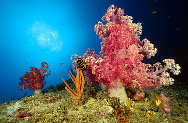 Soft Coral (Dendronephthya sp) and a small Gorgonian with a Crinoid clinging to it at Elephant's Head Rock, Andaman Sea, Thailand  -  Fred Bavendam