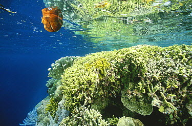 Incoming tide flows past the lip of a shallow coral reef bringing with it a coconut and bits of sea grass, Manado, North Sulawesi, Indonesia  -  Fred Bavendam