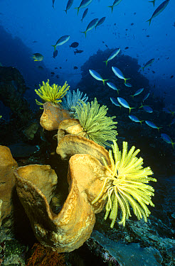 Yellow-tailed Fusiliers (Caesio cuning) swimming past a large sponge with several crinoids perching on it, Manado, North Sulawesi, Indonesia  -  Fred Bavendam