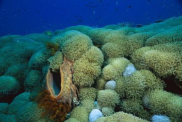 Giant Barrel Sponge (Xestospongia testudinaria) and coral, Manado, Sulawesi, Indonesia  -  Fred Bavendam
