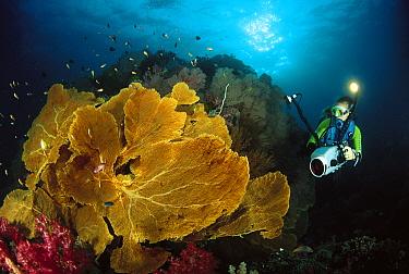 Soft Coral (Subergorgia mollis) and diver, Ko Tachi, Andaman Sea, Thailand  -  Fred Bavendam