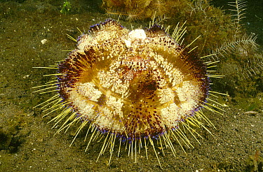 Fire Urchin (Asthenosoma varium) that is host to a pair of Coleman's Shrimp (Periclimenes colemani) and parasitic Snails (Leutzenia asthenosomae), Bali, Indonesia  -  Fred Bavendam