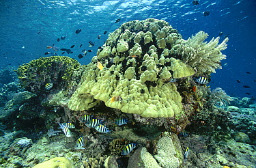 Sergeant Major (Abudefduf vaigiensis) group guarding the nests of eggs laid around the base of a large Bommie of hard coral, Indonesia  -  Fred Bavendam
