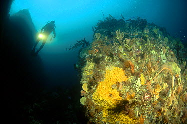 Diver swimming among boulders covered with Sponges, Golden Zoanthid and Gorgonian Sea Whips, Tasman Peninsula, Australia  -  Fred Bavendam