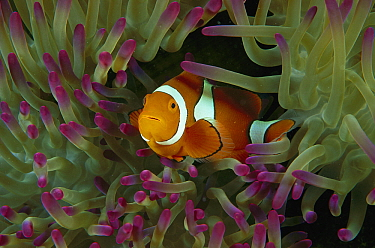 Blackfinned Clownfish (Amphiprion percula) in Magnificent Sea Anemone (Heteractis magnifica) tentacles, Great Barrier Reef, Queensland, Australia