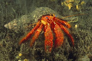 Left-handed Hermit Crab (Strigopagurus strigimanus) with algae-covered shell, Hobart, Tasmania, Australia  -  Fred Bavendam