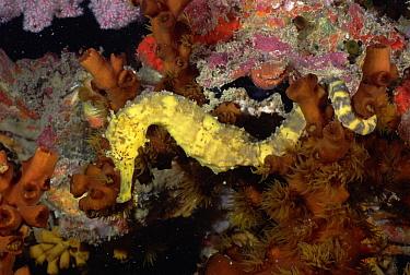 Seahorse (Hippocampus sp) next to corals, Andaman Sea, Thailand  -  Fred Bavendam