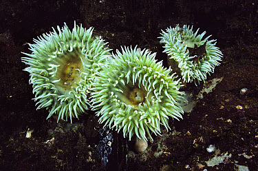Giant Green Sea Anemone (Anthopleura xanthogrammica) trio in tide pool, browning wall, British Columbia, Canada  -  Fred Bavendam