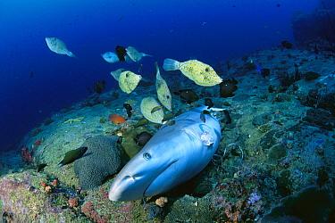 Grey Reef Shark (Carcharhinus amblyrhynchos) dead after its fins were cut off for shark fin soup, Thailand  -  Fred Bavendam