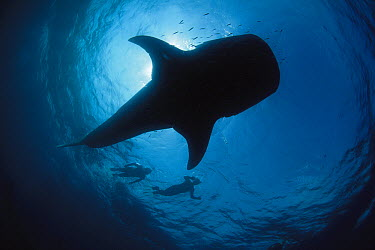 Whale Shark (Rhincodon typus) swimming along with two snorkelers, Ningaloo Reef, Australia  -  Fred Bavendam
