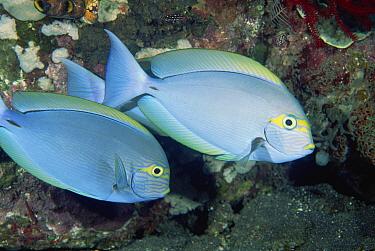 Elongate Surgeonfish (Acanthurus mata) pair, underwater, Bali, Indonesia  -  Fred Bavendam