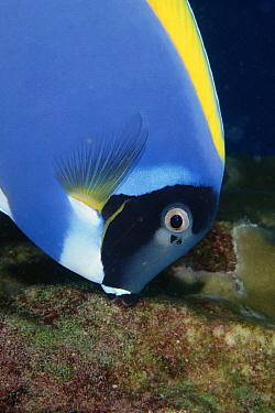 Powderblue Surgeonfish (Acanthurus leucosternon), Andaman Sea, Thailand  -  Fred Bavendam