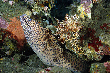 Honeycomb Moray Eel (Gymnothorax favagineus) in burrow, Bali, Indonesia  -  Fred Bavendam