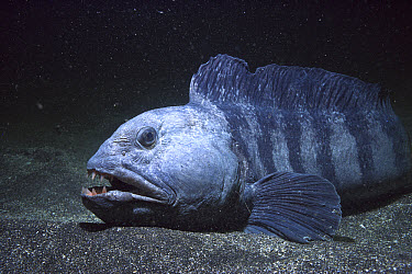 Atlantic Wolffish (Anarhichas lupus) resting on ocean floor, feeds on mussels and other shelled mollusks, York, Maine  -  Fred Bavendam