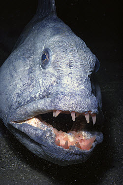 Atlantic Wolffish (Anarhichas lupus) close-up portrait, feeds on mussels and other shelled mollusks, York, Maine  -  Fred Bavendam