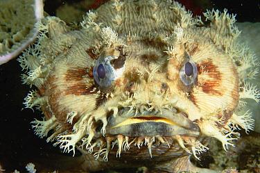 Three-spined Frogfish (Batrachomoeus trispinosus), Exmouth, Western Australia  -  Fred Bavendam