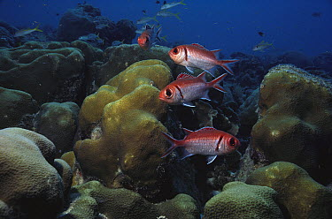 Blackbar Soldierfish (Myripristis jacobus) group over coral reef, Bonaire, Caribbean  -  Fred Bavendam