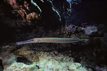 Trumpetfish (Aulostomus maculatus), South Caicos, British West Indies, Caribbean  -  Fred Bavendam