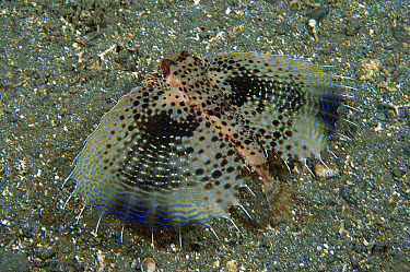 Oriental Flying Gurnard (Dactyloptena orientalis) swimming over ocean bottom with fins outstretched to confuse predators, Milne Bay, Papua New Guinea  -  Fred Bavendam