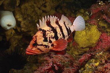 Tiger Rockfish (Sebastes nigrocinctus), Quadra Island, British Columbia, Canada  -  Fred Bavendam