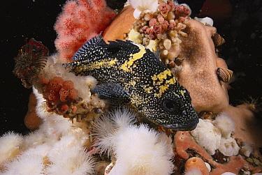 China Rockfish (Sebastes nebulosus), British Columbia, Canada  -  Fred Bavendam