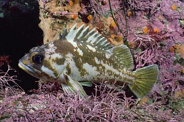 Copper Rockfish (Sebastes caurinus), Carmel, California  -  Fred Bavendam