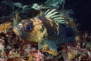Quillback Rockfish (Sebastes maliger), Vancouver Island, British Columbia, Canada  -  Fred Bavendam