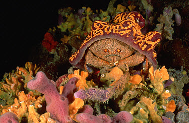 Sponge Crab (Austrodromidia octodentata) wearing a Hat of Leach's Compound Ascidian (Botrylloides leachi) instead of a Sponge, South Australia  -  Fred Bavendam