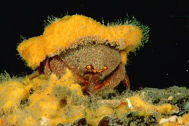 Sponge Crab (Austrodromidia octodentata) wearing a hat of yellow sponge for camouflage, Edithburgh, South Australia, Australia  -  Fred Bavendam