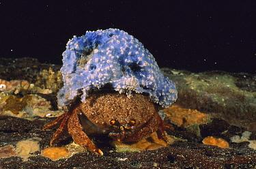 Sponge Crab (Austrodromidia octodentata) wearing a hat of blue sponge for camouflage, Edithburgh, South Australia  -  Fred Bavendam