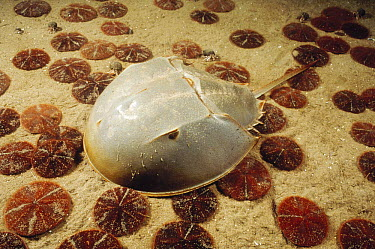 Horseshoe Crab (Limulus polyphemus) crawling across a sandy sea floor littered with many Sand Dollars (Echinarachnius parma), Cape Anne, Massachusetts  -  Fred Bavendam