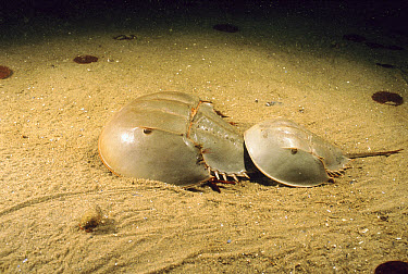 Horseshoe Crab (Limulus polyphemus) male clinging to the telson of a larger female, he will try to hold on until she goes ashore to lay her eggs, Cape Anne, Massachusetts  -  Fred Bavendam