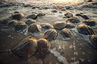 Horseshoe Crab (Limulus polyphemus) group crawling ashore on the high tides of spring to lay their eggs in Delaware Bay's sandy beaches, New Jersey  -  Fred Bavendam