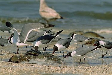 Laughing Gull (Leucophaeus atricilla) group waiting right near the water's edge for the spawning Horseshoe Crabs (Limulus polyphemus), Cape May, New Jersey  -  Fred Bavendam