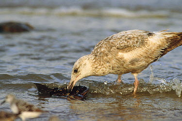 Herring Gull (Larus argentatus) juvenile eating the gill of an overturned Horseshoe Crab (Limulus polyphemus), Cape May, New Jersey  -  Fred Bavendam