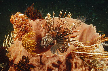 Common Lionfish (Pterois volitans) lurking among Feather Star Crinoids clinging to the lip of a large Barrel Sponge, Bali, Indonesia  -  Fred Bavendam