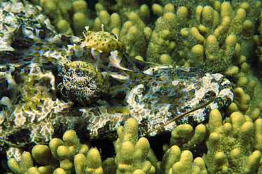Beaufort's Crocodilefish (Cymbacephalus beauforti) camouflaged on coral, Lembeh Strait, Indonesia  -  Fred Bavendam