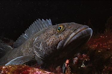 Lingcod (Ophiodon elongatus), Quadra Island, British Columbia, Canada  -  Fred Bavendam