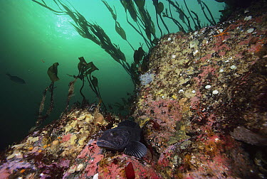 Lingcod (Ophiodon elongatus) in between rocks, Quadra Island, British Columbia, Canada  -  Fred Bavendam
