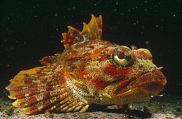 Red Irish Lord (Hemilepidotus hemilepidotus) portrait, underwater, Hurst Island, British Columbia, Canada  -  Fred Bavendam