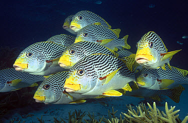 Diagonal-banded Sweetlips (Plectorhinchus lineatus) school, Great Barrier Reef, Queensland, Australia  -  Fred Bavendam