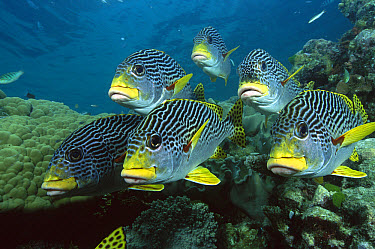Diagonal-banded Sweetlips (Plectorhinchus lineatus) school underwater, Great Barrier Reef, Queensland, Australia  -  Fred Bavendam