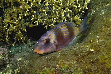 Doublebar Goatfish (Parupeneus bifasciatus) resting on reef at night, Bali, Indonesia  -  Fred Bavendam