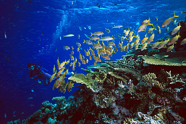 Yellowfin Goatfish (Mulloides vanicolensis) school near coral reef observed by scuba diver, often gather in large schools during the day and disperse at night to feed, Great Barrier Reef, Queensland,...  -  Fred Bavendam