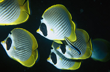 Eyepatch Butterflyfish (Chaetodon adiergastos) lining up for the services of a Blue-streaked Cleaner Wrasse (Labroides dimidiatus), Bali, Indonesia  -  Fred Bavendam