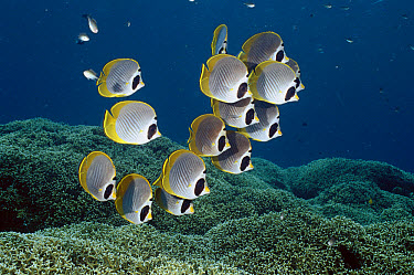 Eyepatch Butterflyfish (Chaetodon adiergastos) school swimming along shallow reef, Bali, Indonesia  -  Fred Bavendam