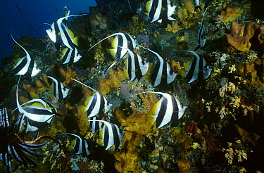Bannerfish (Heniochus diphreutes) school along reef, Manado, North Sulawesi, Indonesia  -  Fred Bavendam