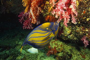 Blue-ringed Angelfish (Pomacanthus annularis), Andaman Sea, Thailand  -  Fred Bavendam
