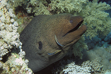 Blue-streaked Cleaner Wrasse (Labroides dimidiatus) working on a Giant Moray Eel (Gymnothorax javanicus), Red Sea, Egypt  -  Fred Bavendam