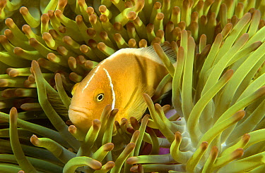 Pink Anemonefish (Amphiprion perideraion) nestled among the tentacles of its Sea Anemone host, Coral Sea, Queensland, Australia  -  Fred Bavendam